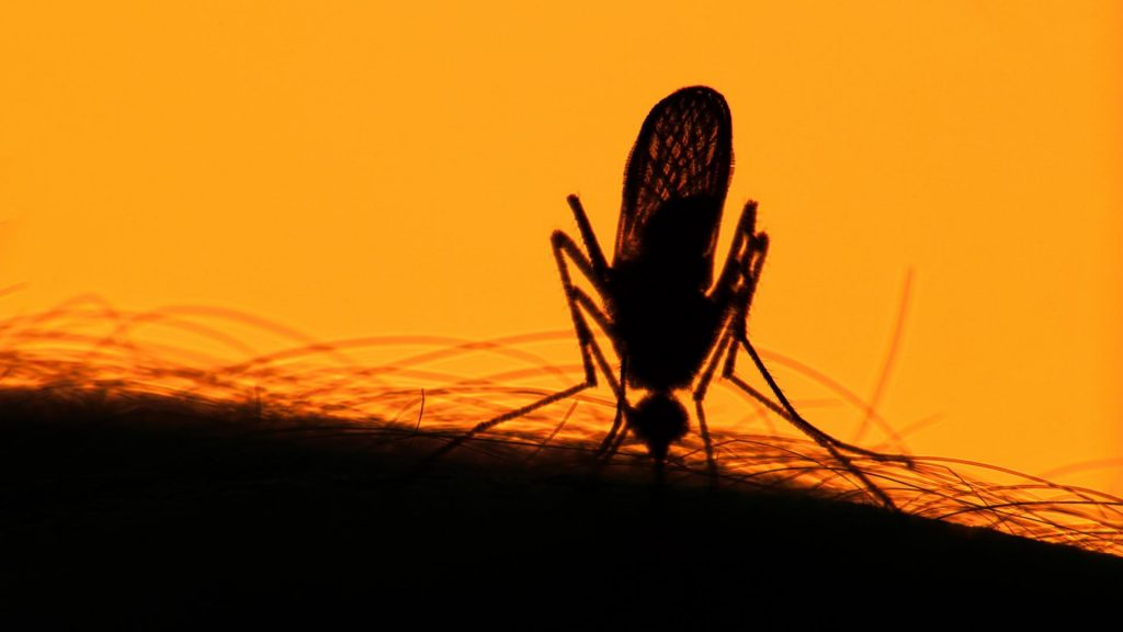 Mücke saugt Blut auf Arm
