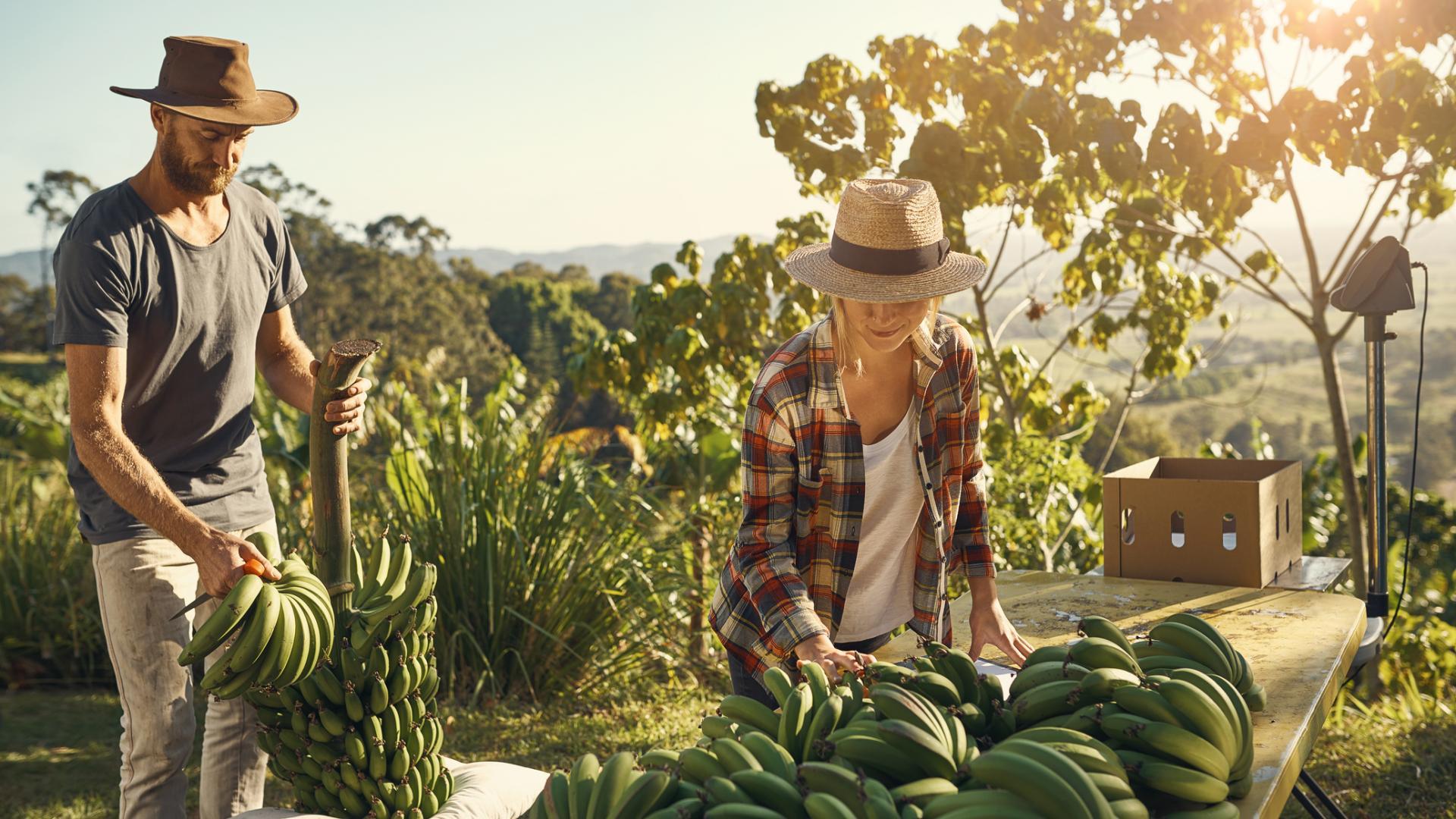 Bananenplantage Mann Frau ernten Bananen
