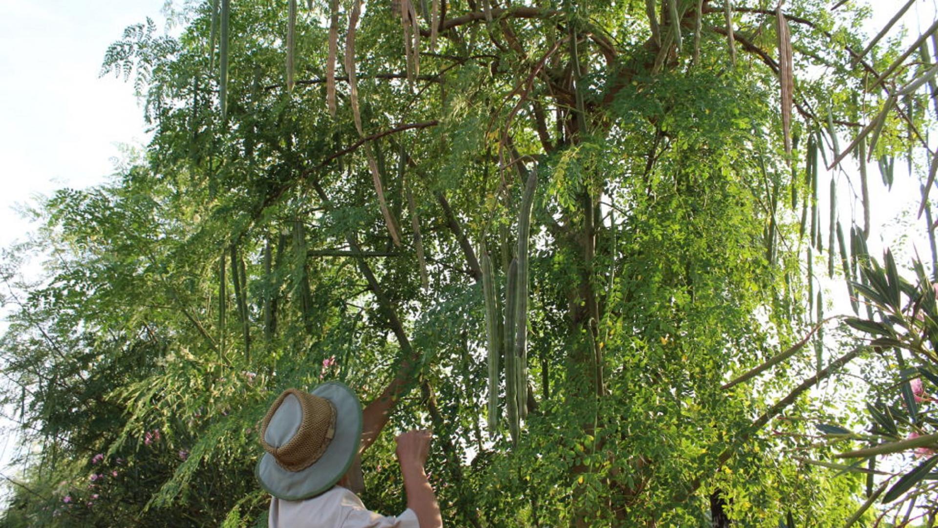 Baum, Mann, Moringa, Pflanze