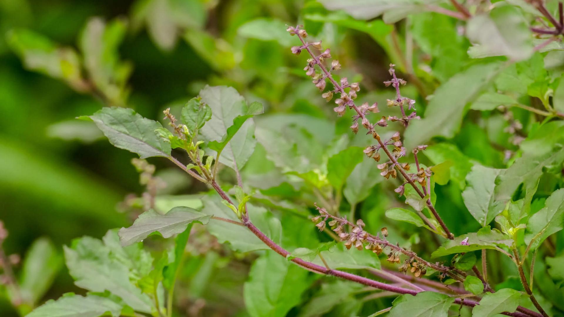 Pflanze, Holy Basil
