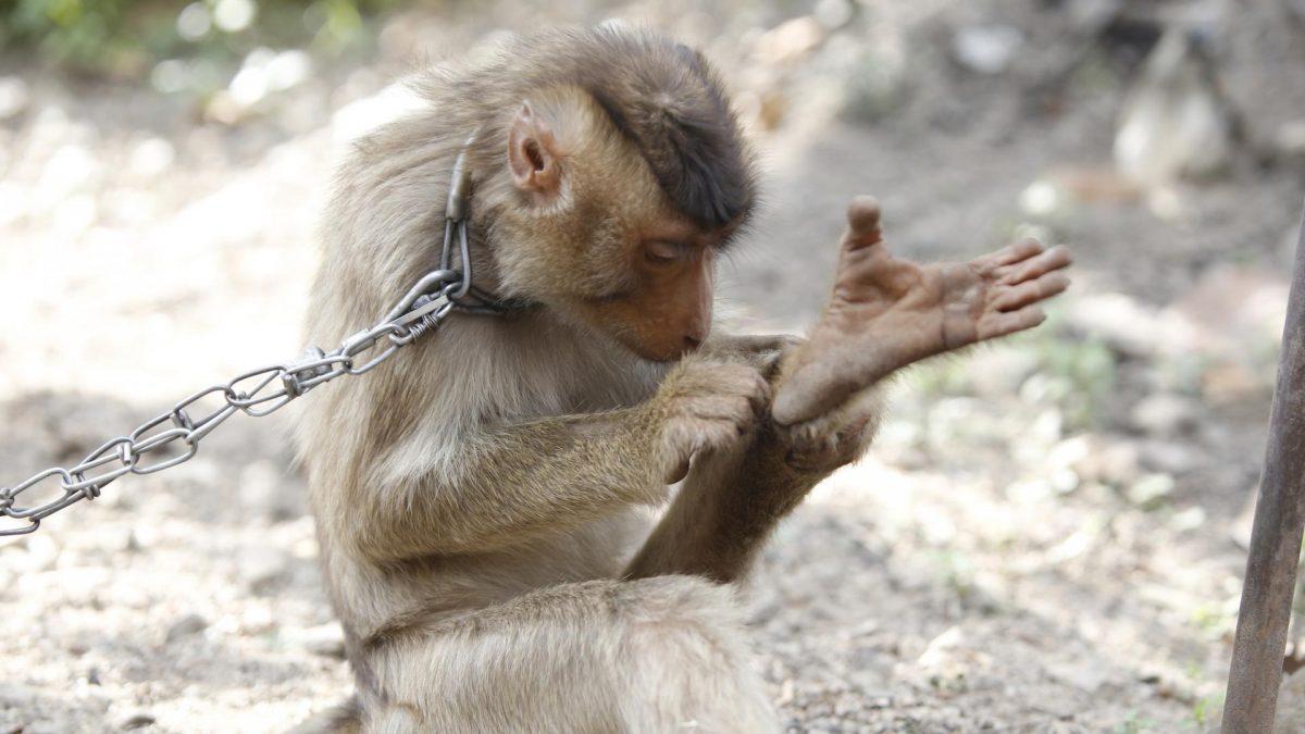 Affen werden in Ketten gehalten