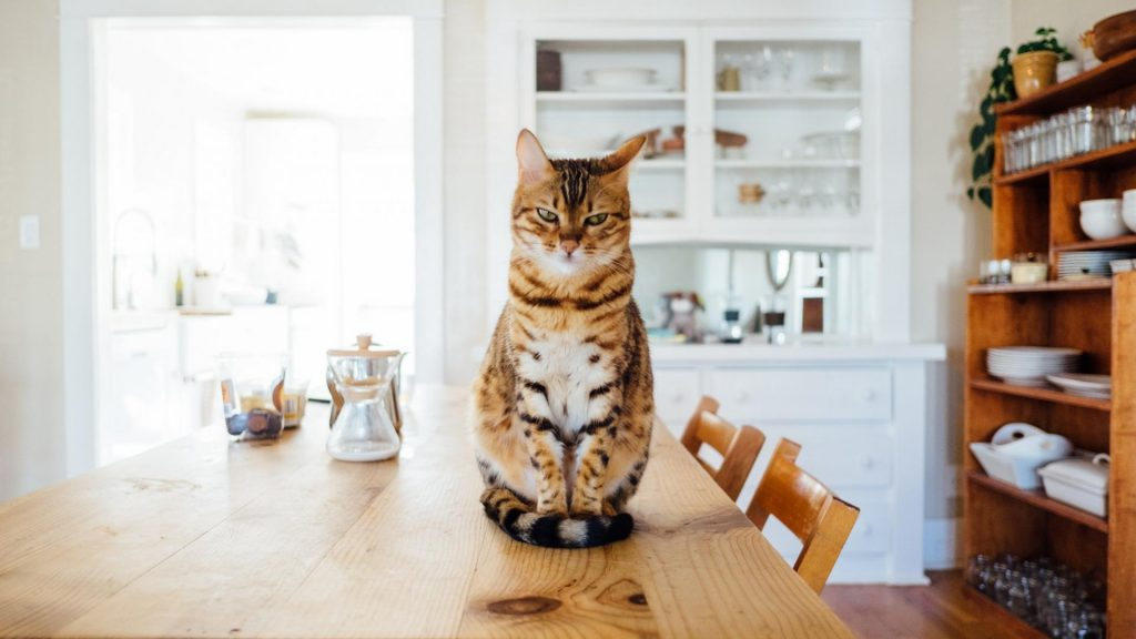 Corona-Katze, Katze auf Tisch