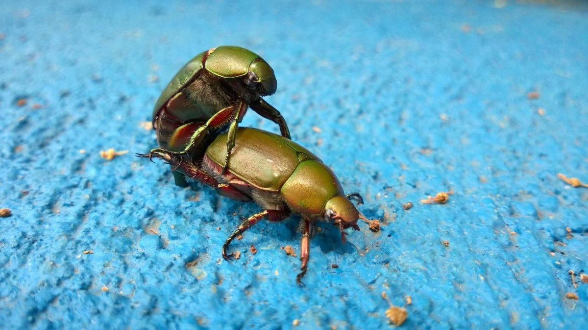 Käfer Sex