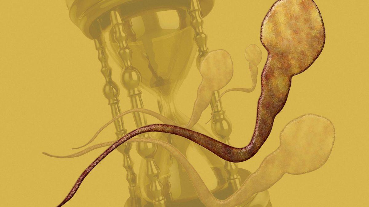 Spermien Riesenspermien Evolution sanduhr