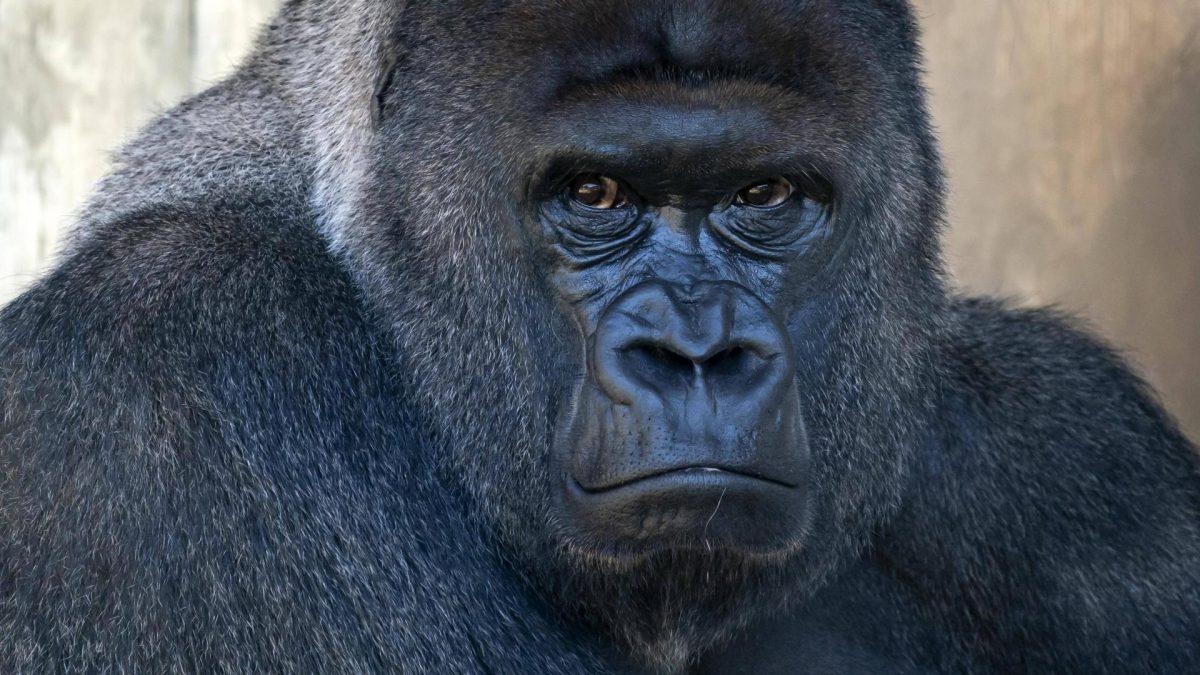 gorilla corona test