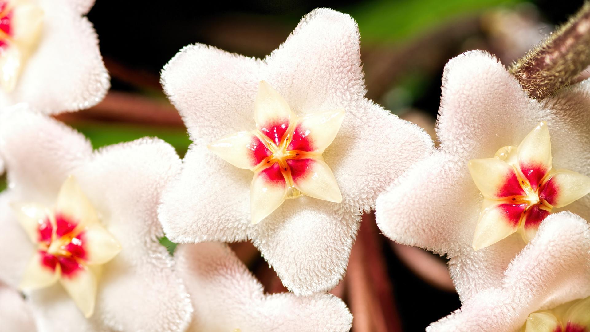 Porzellanblume Zimmerpflanze