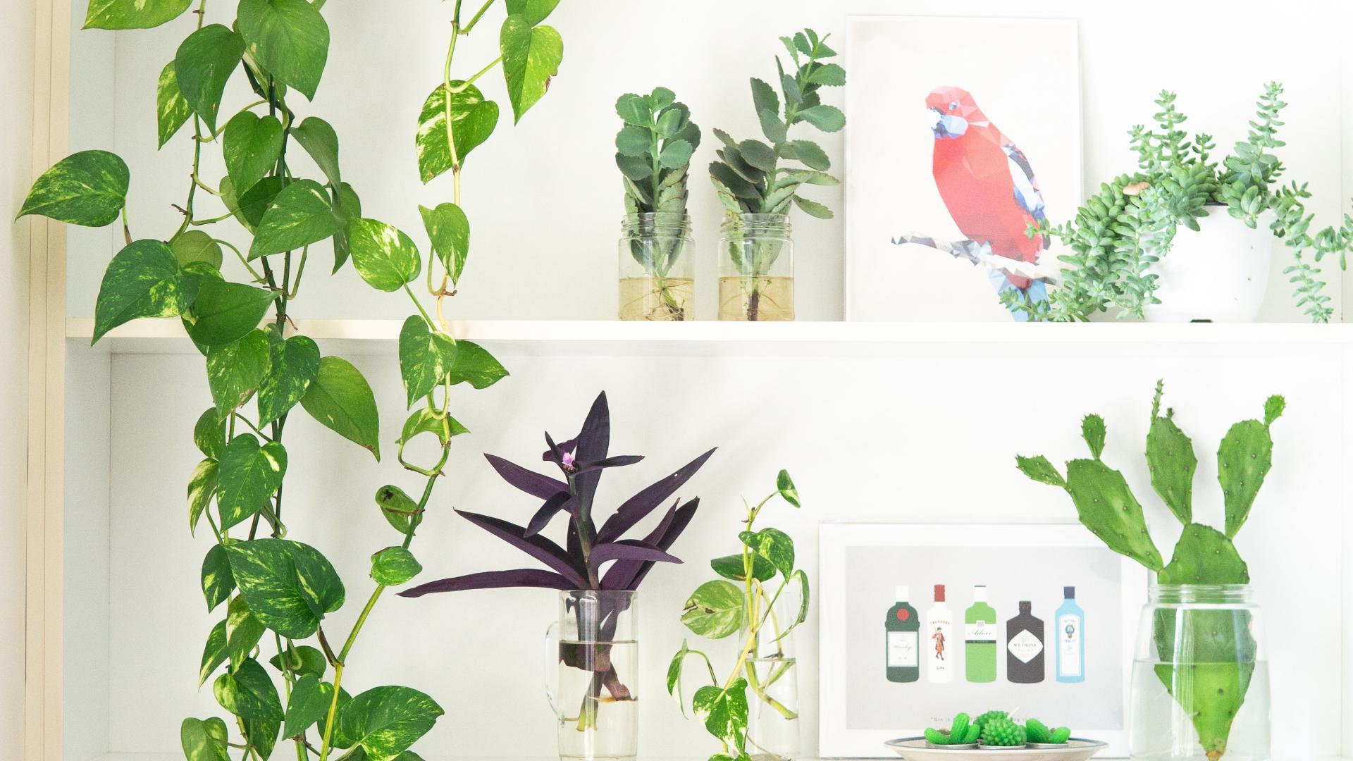 Efeu Zimmerpflanze für den Schatten