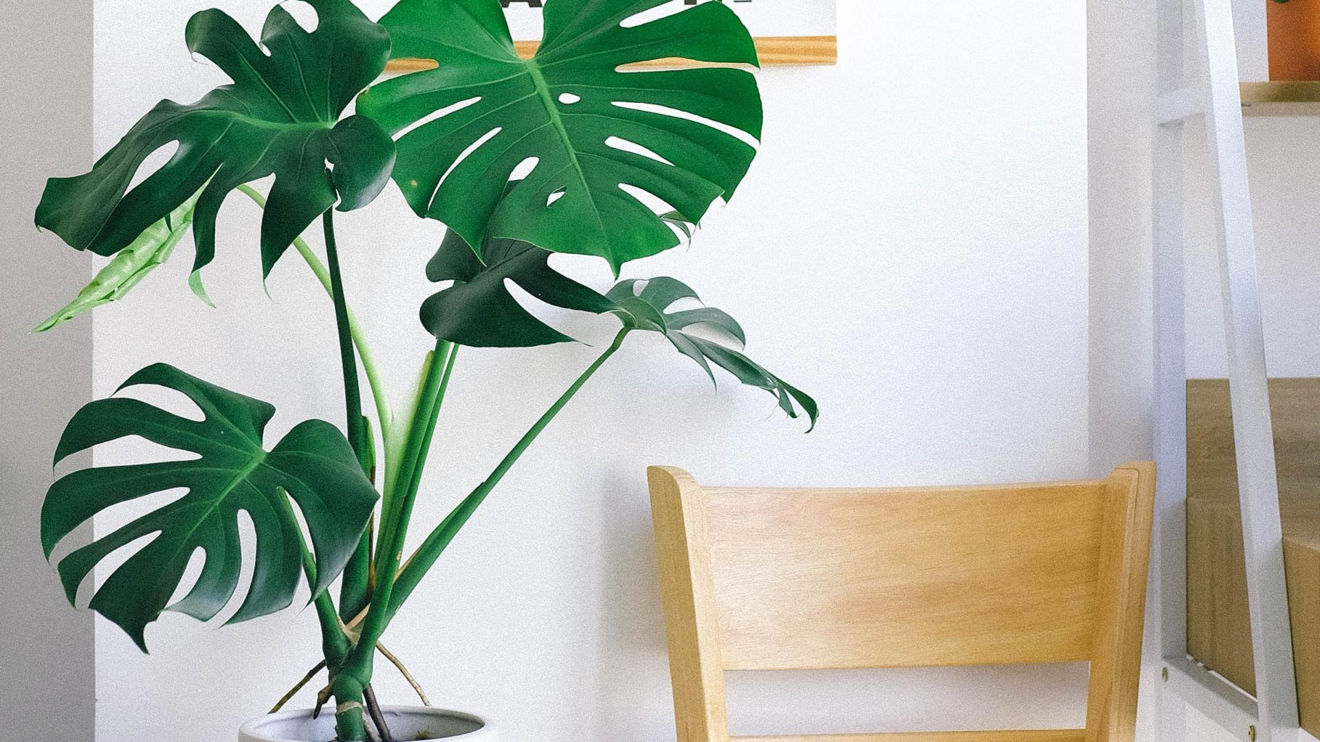 Monstera Zimmerpflanze