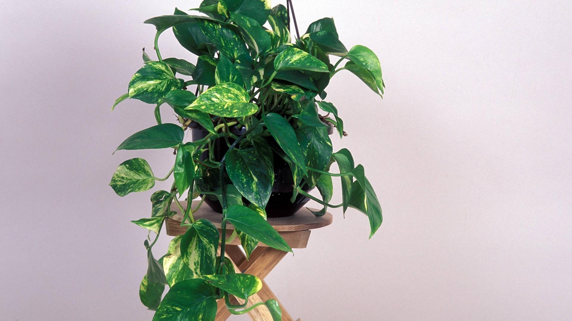 Philodendron Zimmerpflanze