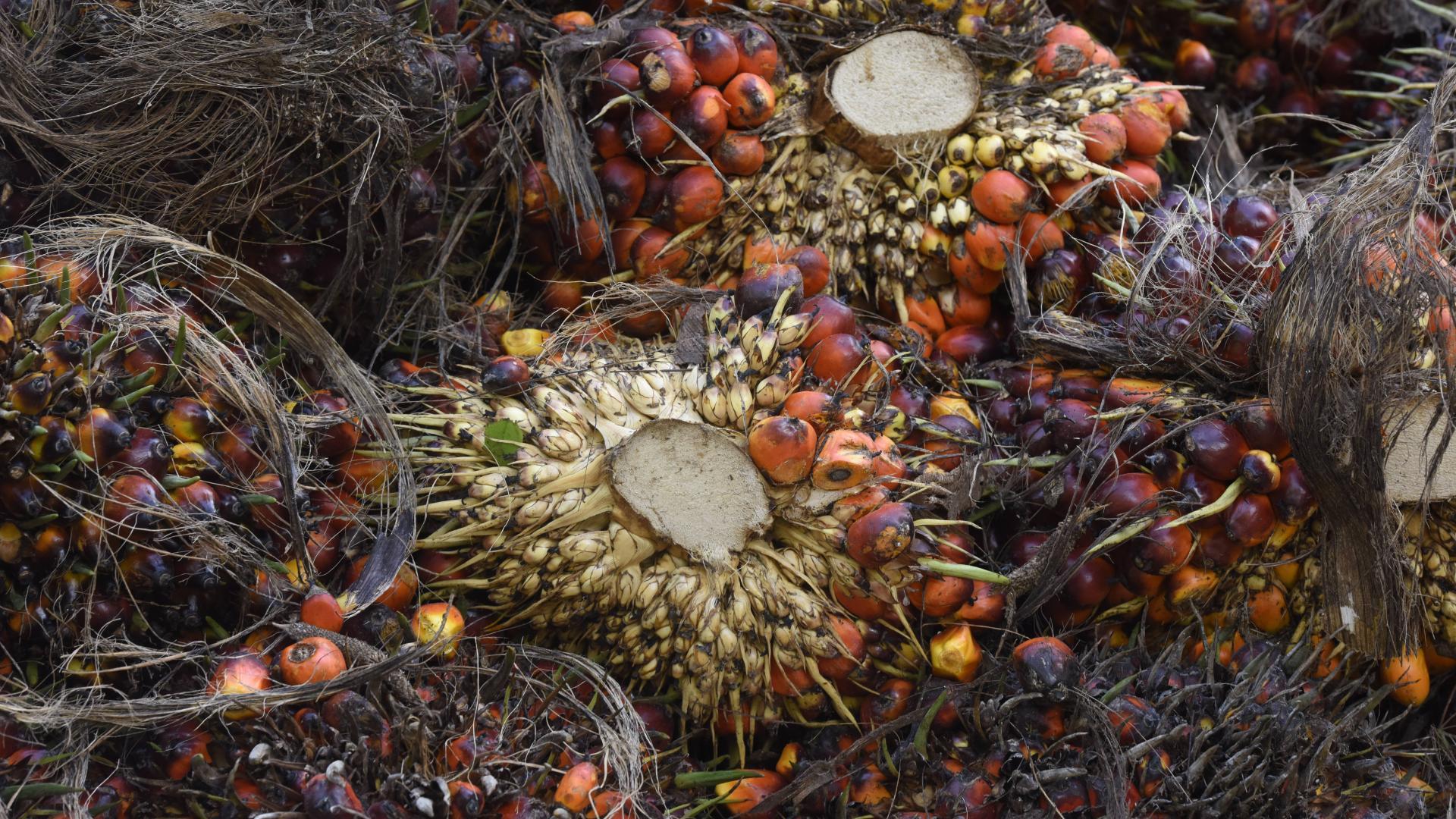 Ölhaltige Früchte der Ölpalmen