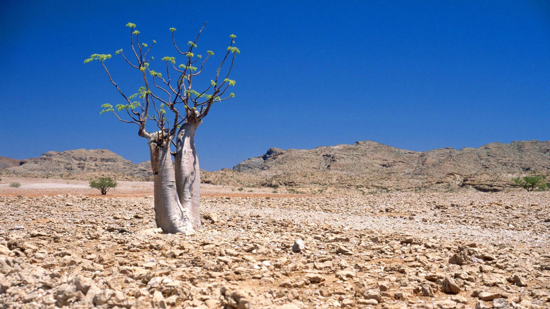 Moringabaum in der Halbwüste