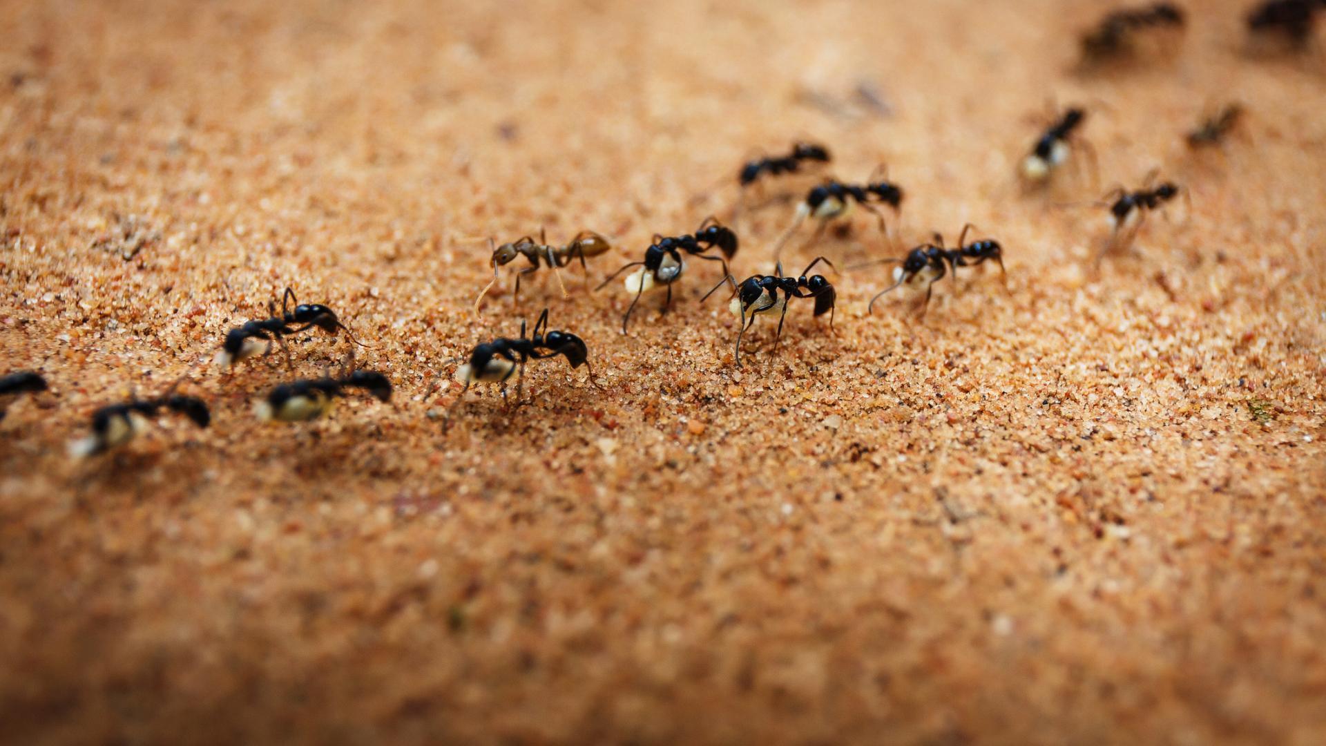 Ameisen Insekten