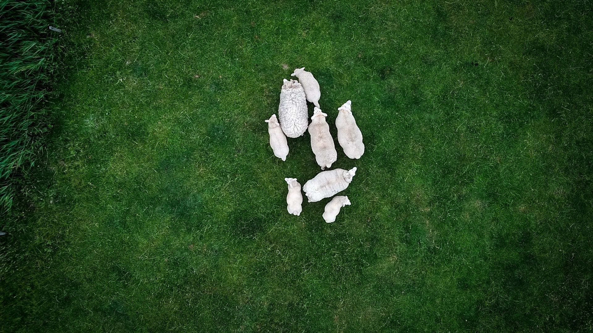 Schafe Familie von oben