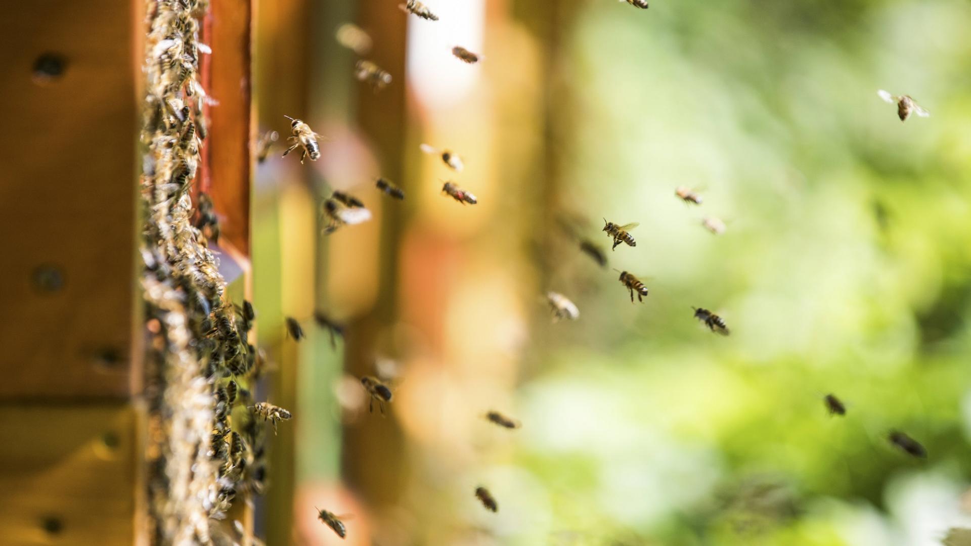 Bienenstock propolis wirkung biene