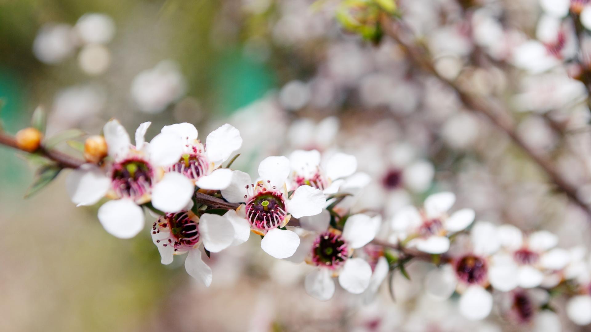 manuka Honig Wirkung Pflanze