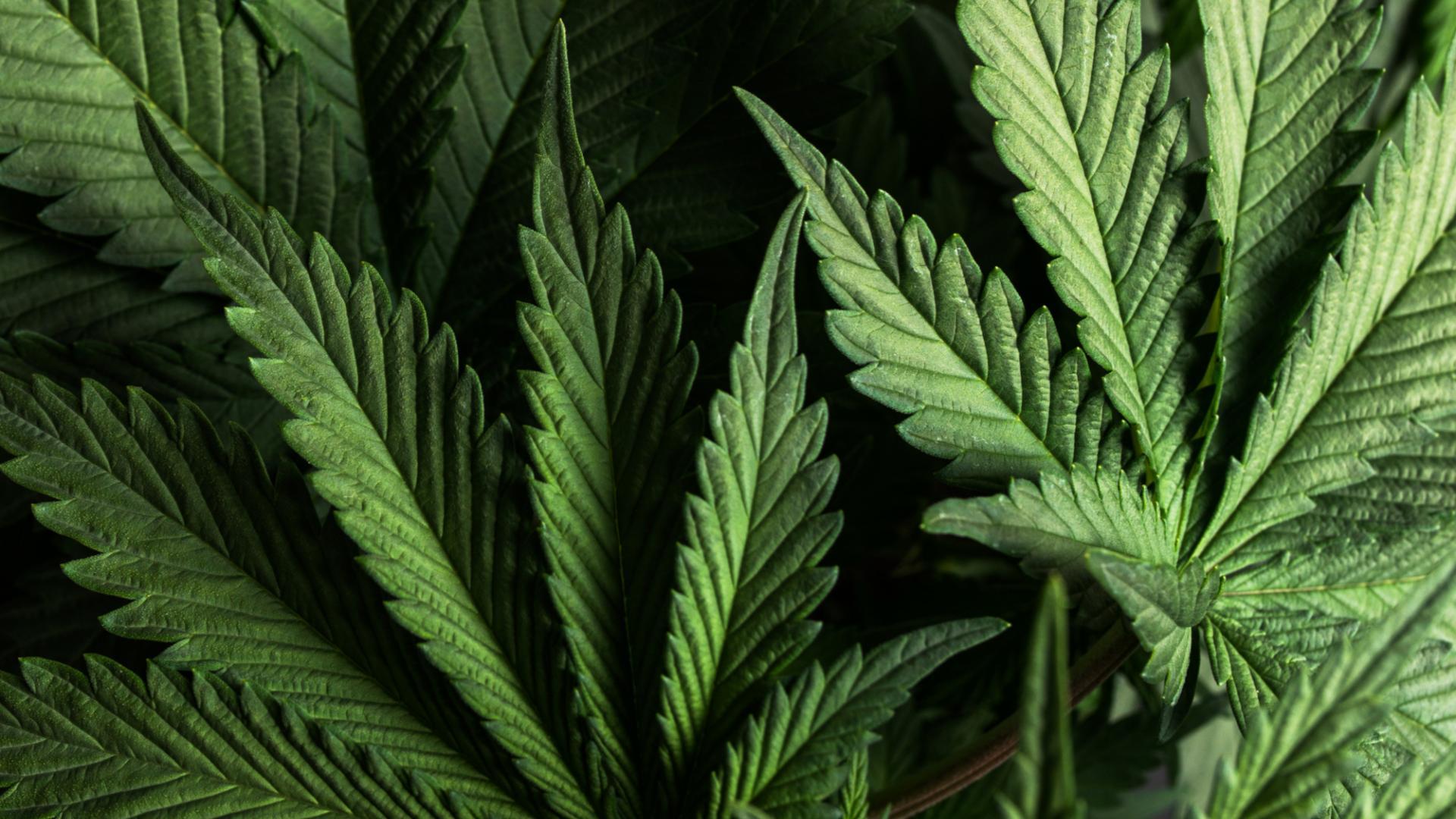 Coronavirus CBD Cannabis