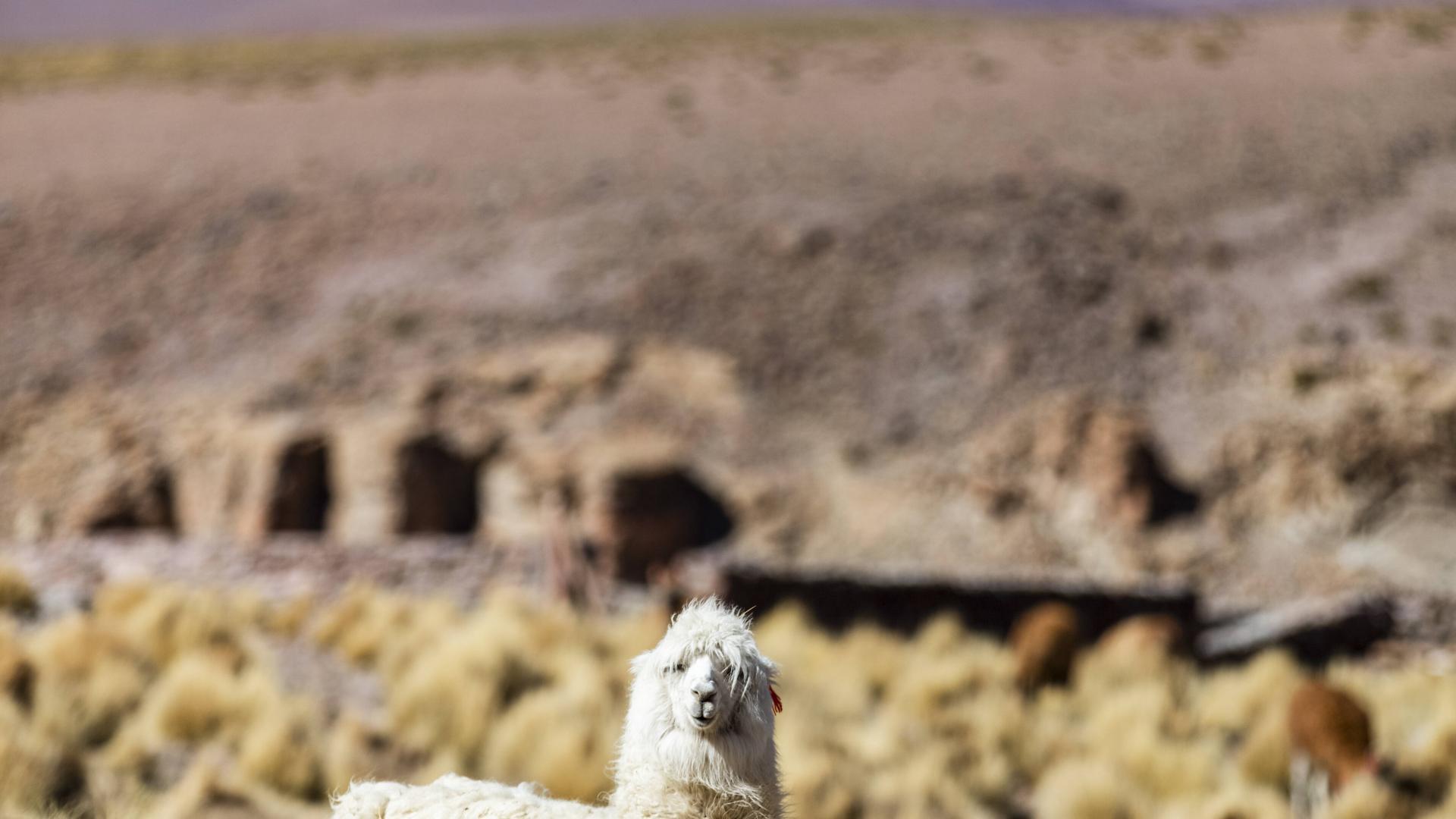 Lamas Essenslieferung