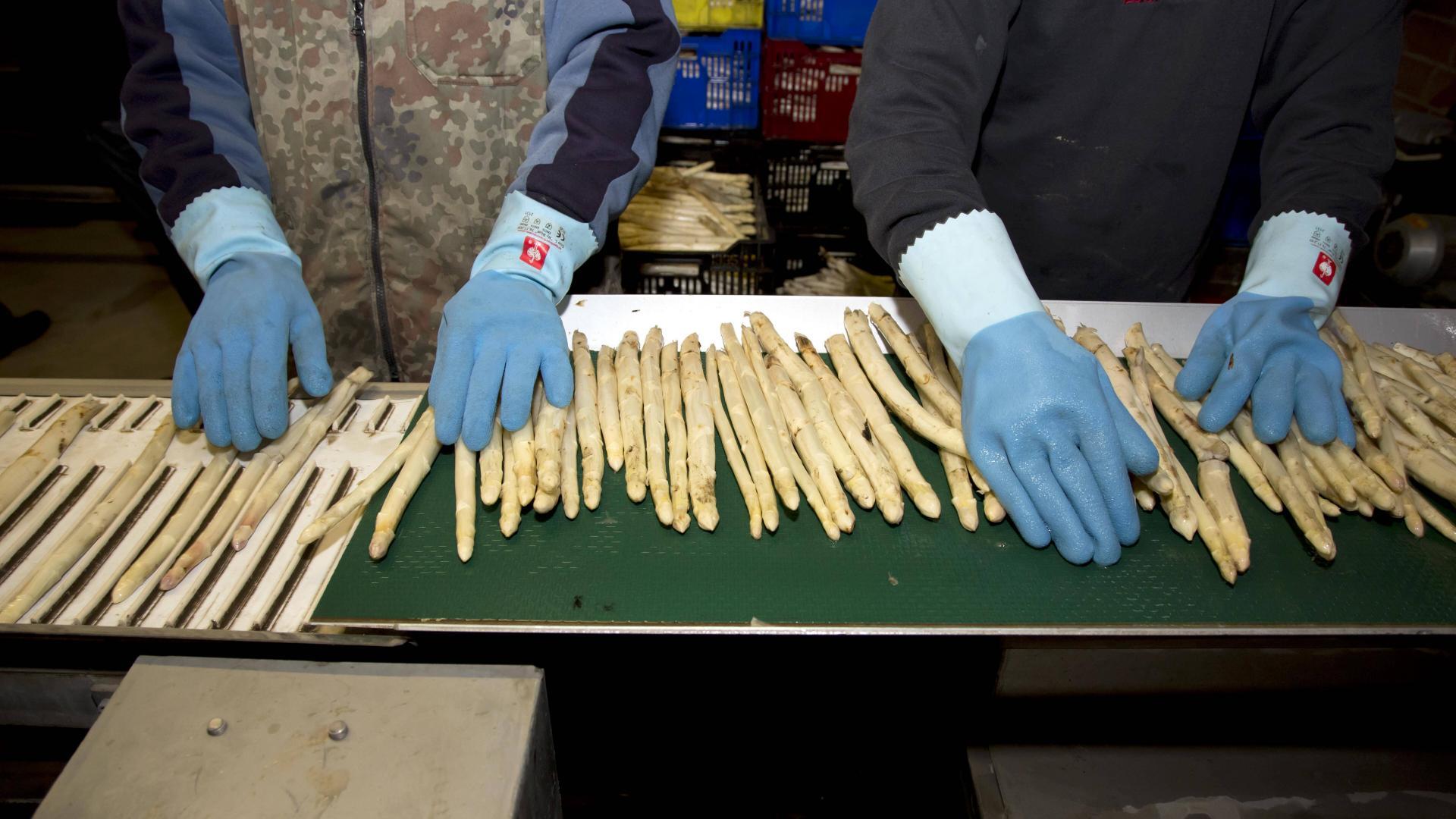 Spargel sortieren am Fließband von zwei Mitarbeitern