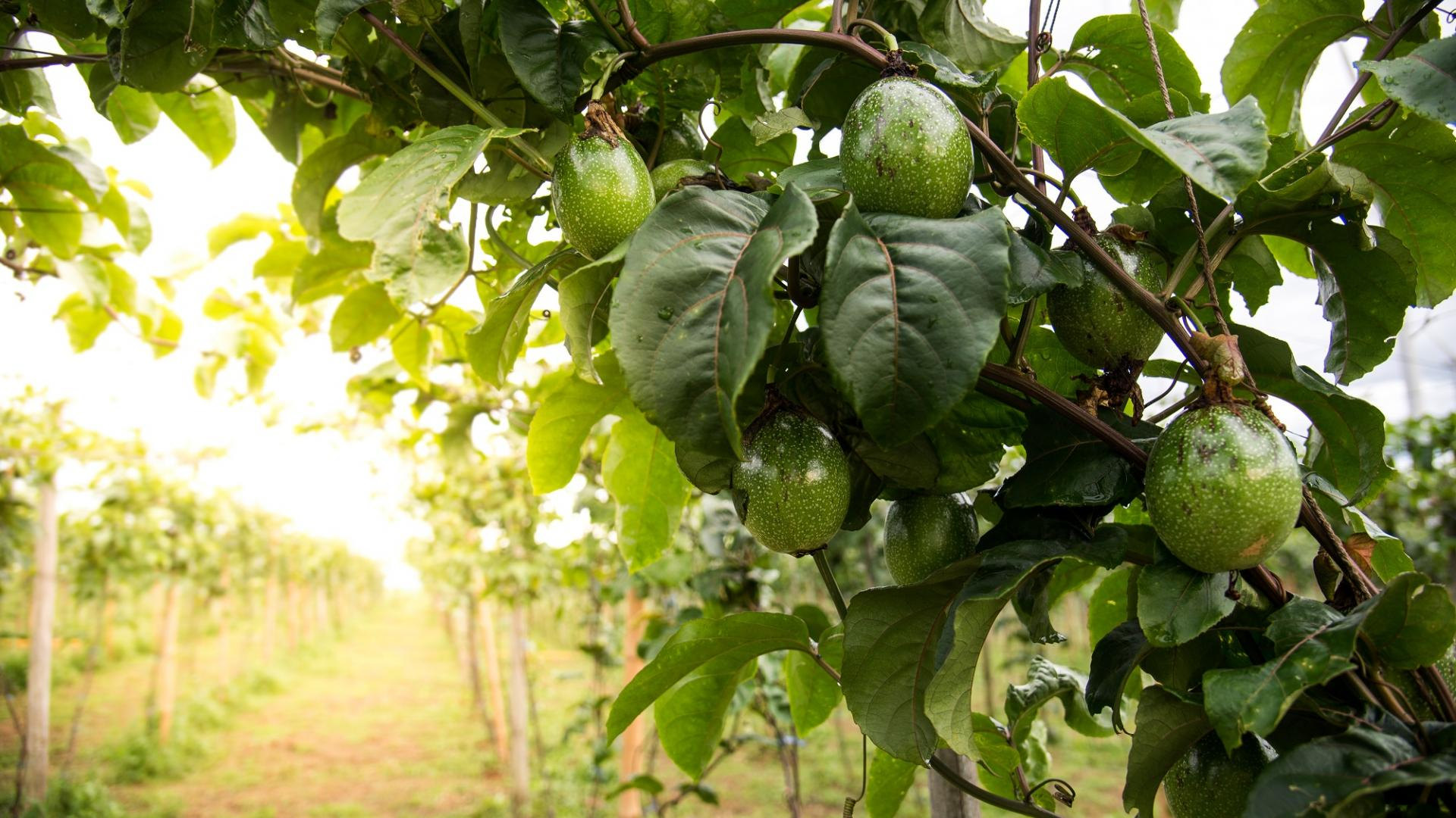 Anbau Avocados Pflanzen