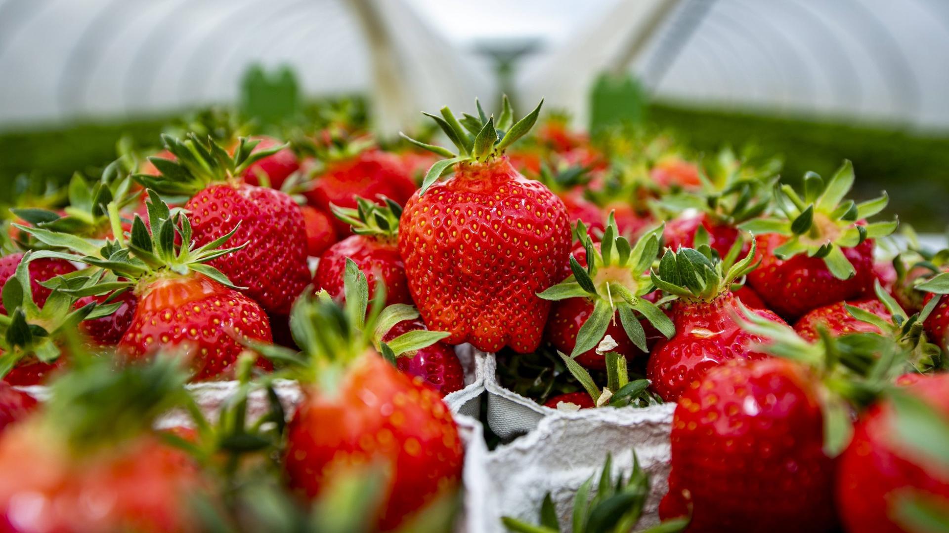 rote saftige Erdbeeren in Pappschale