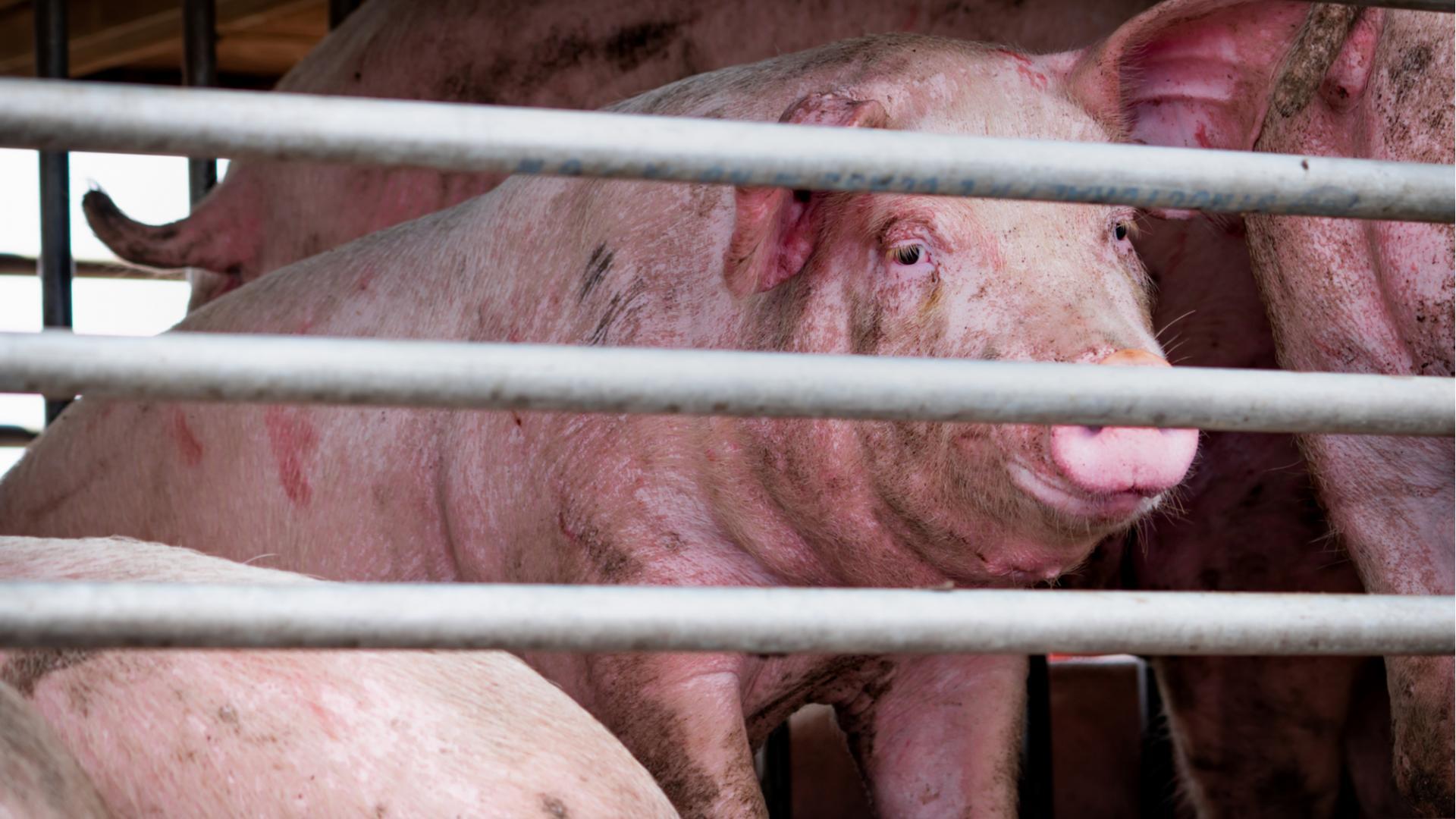 Schweinegrippe neue Pandemie