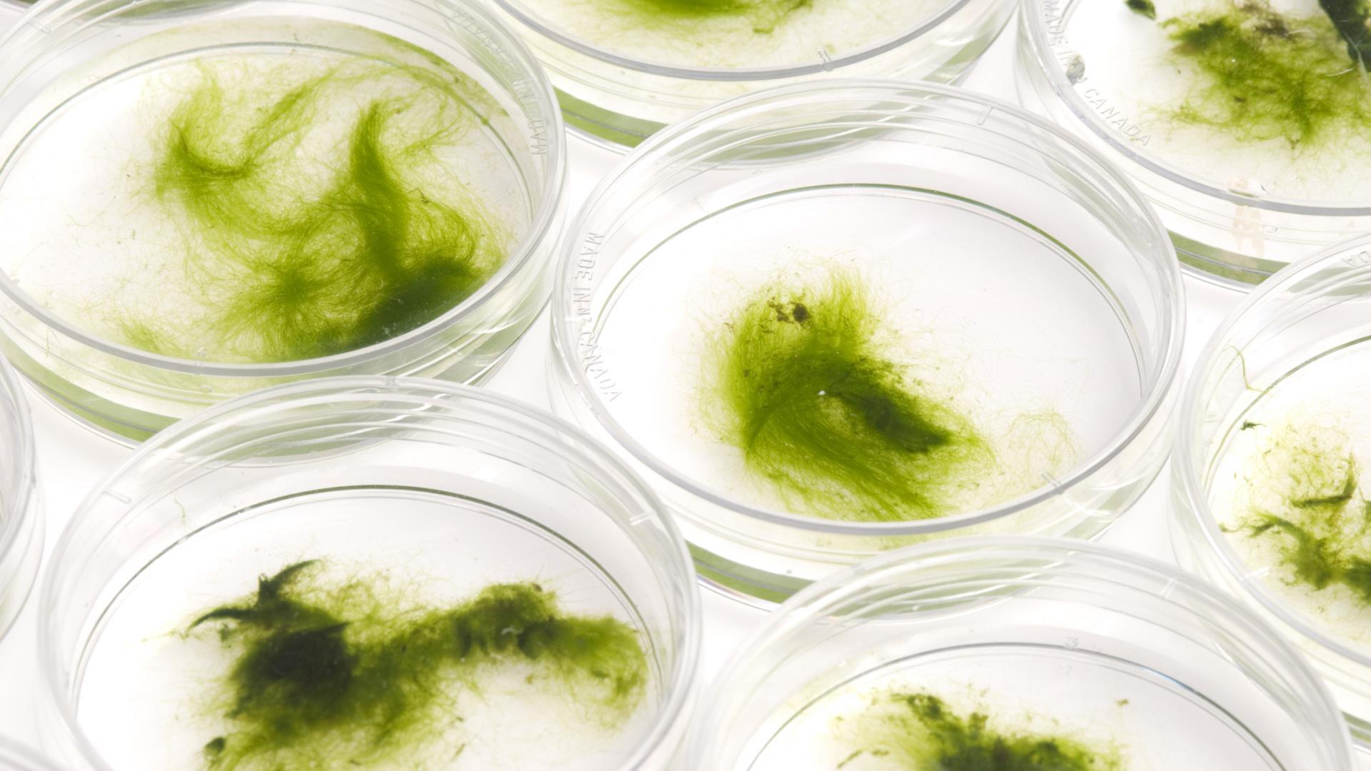 Grünalge Petrischale Labor