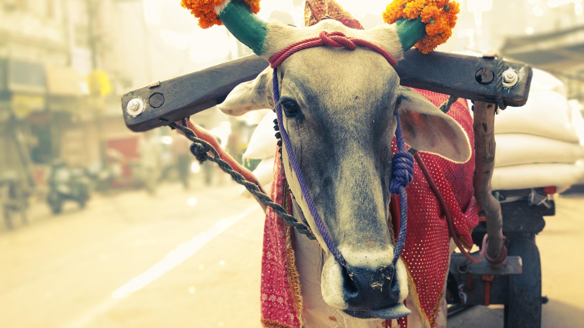 Kuh in Indien heilig