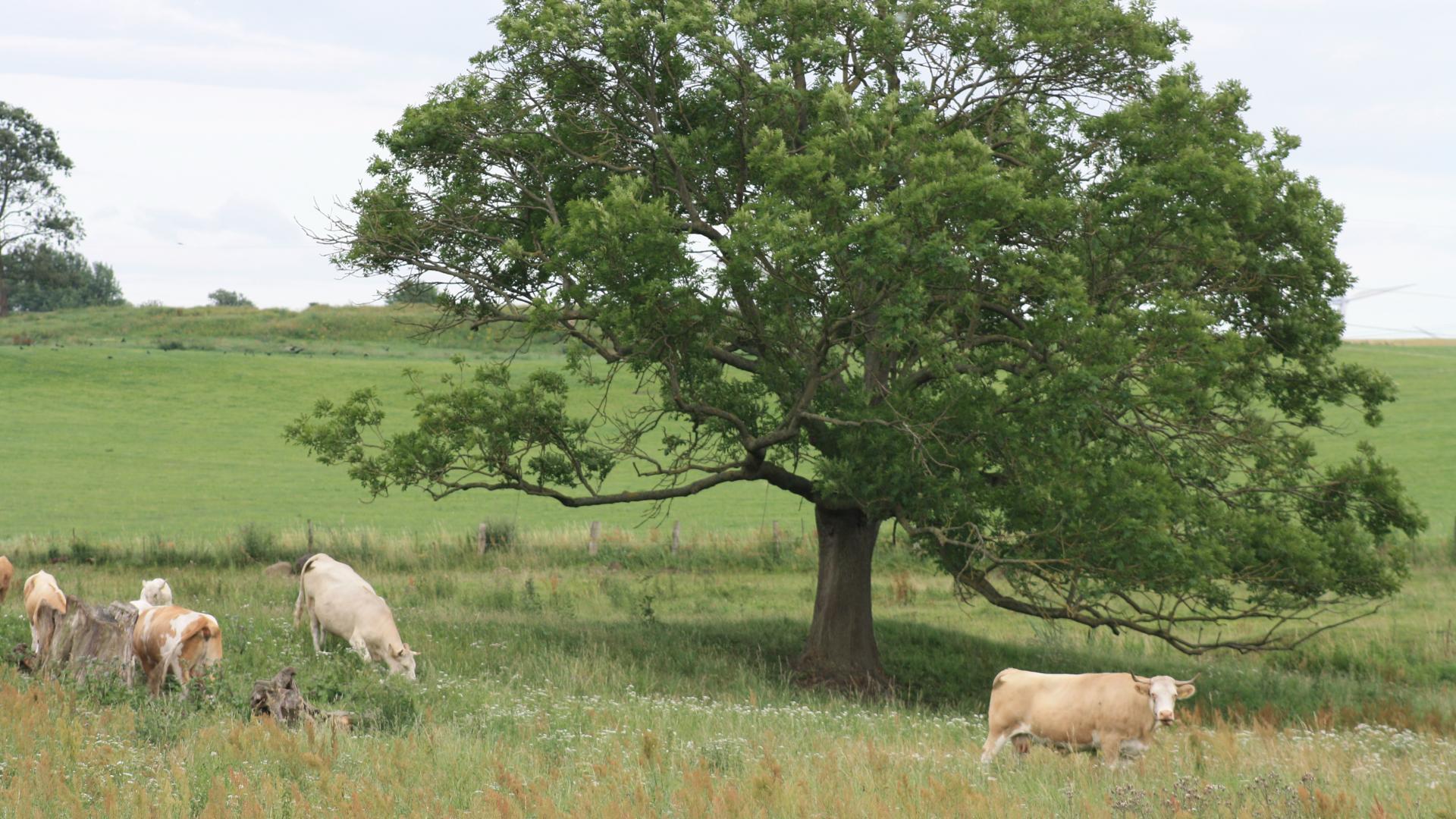 Kühe Rinder Weide Wiese Baum Landwirtschaft