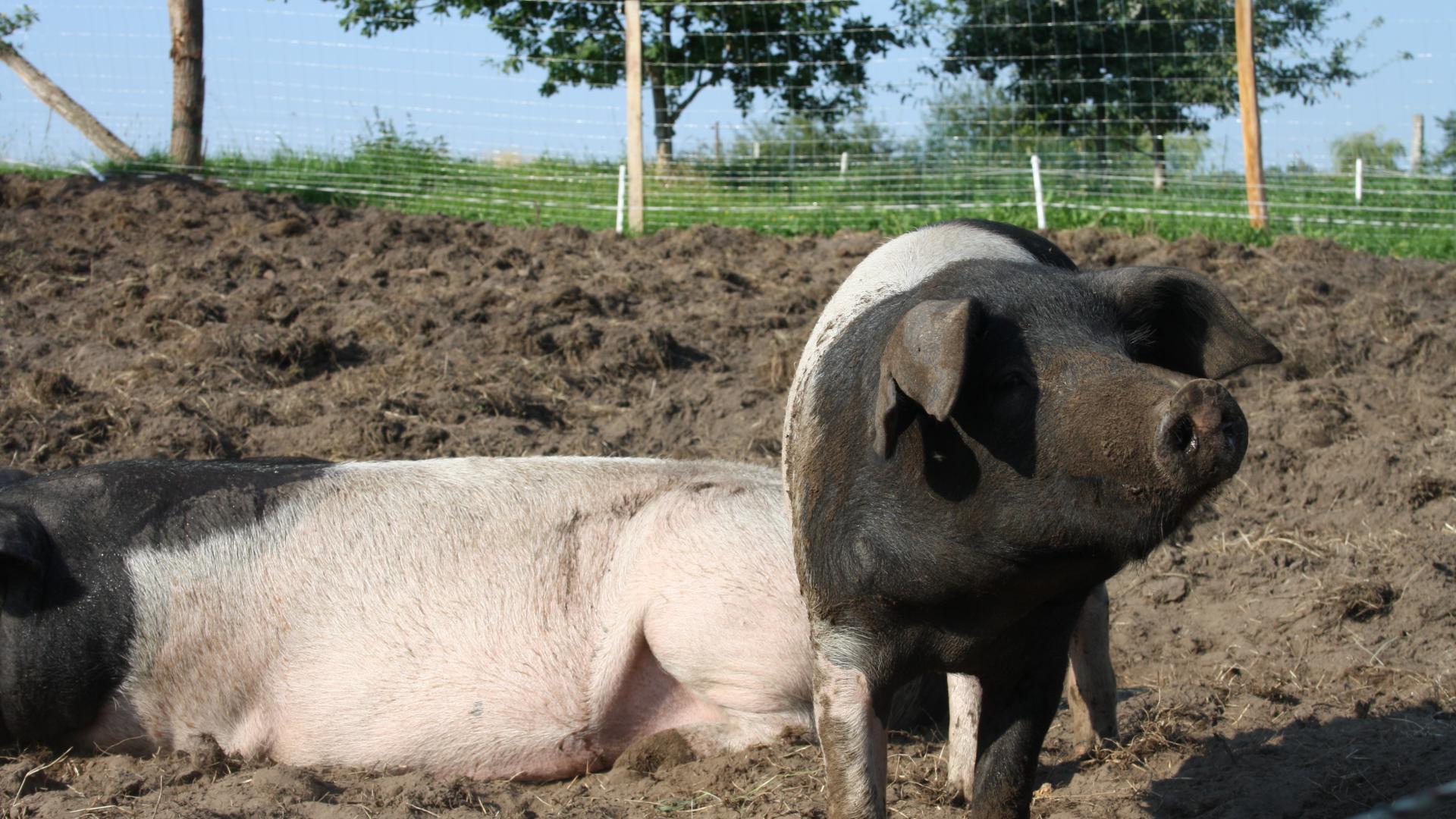 Schweine Landwirtschaft Tiere