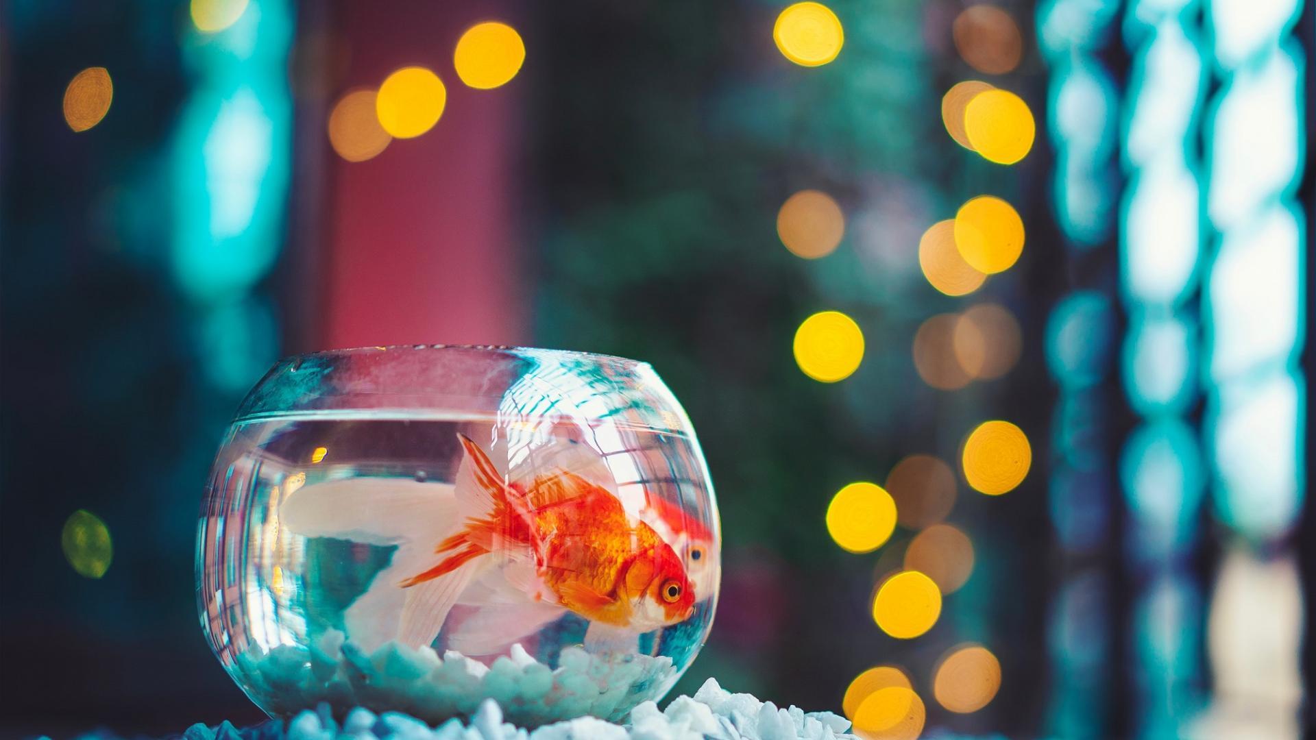 Corona-Katze, Goldfisch