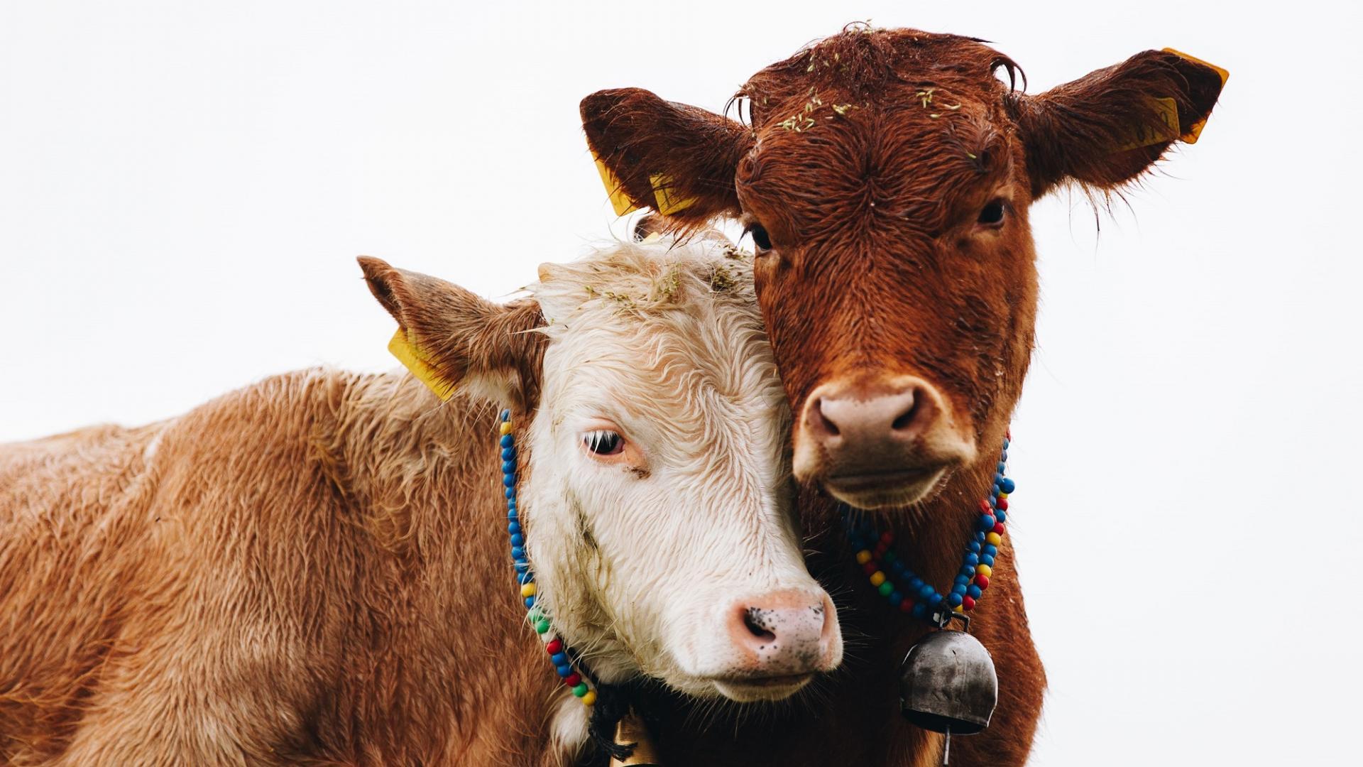 vegetarisch leben, Tierwohl, Kühe