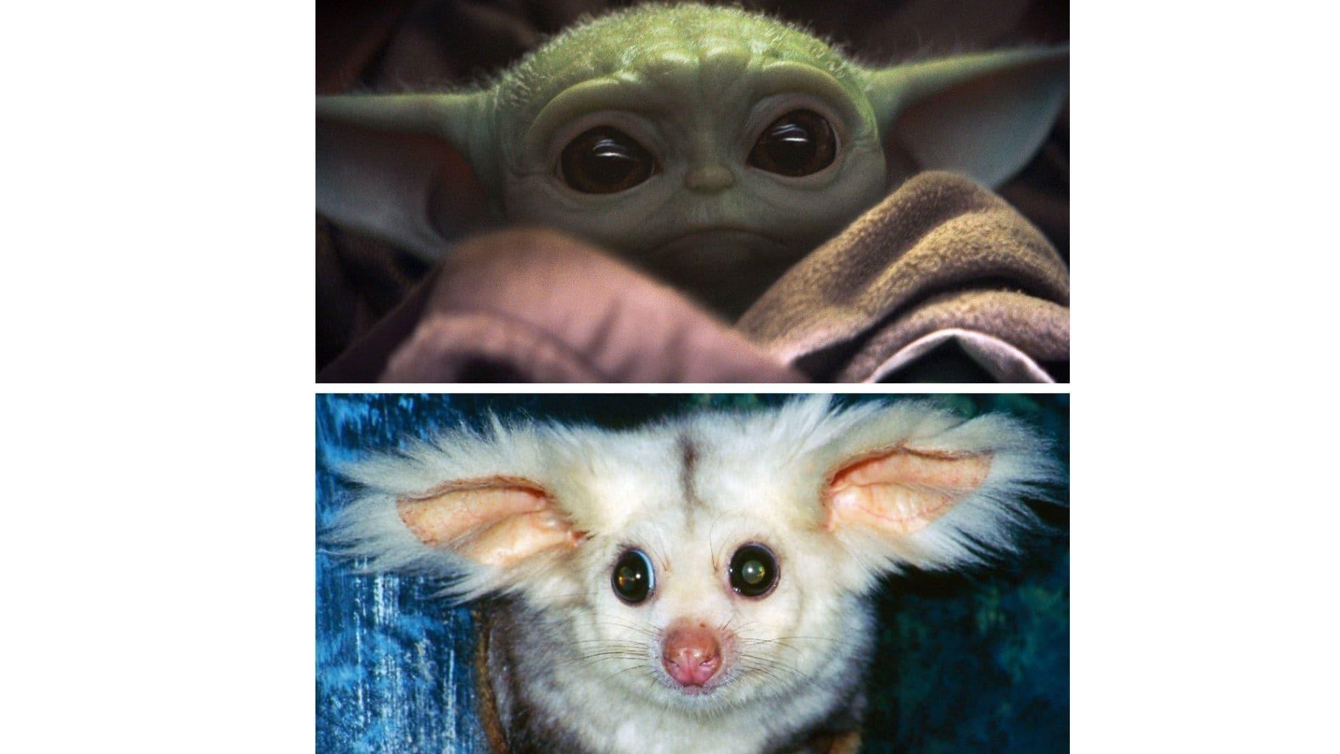 Großflugbeutler vs. Baby-Yoda