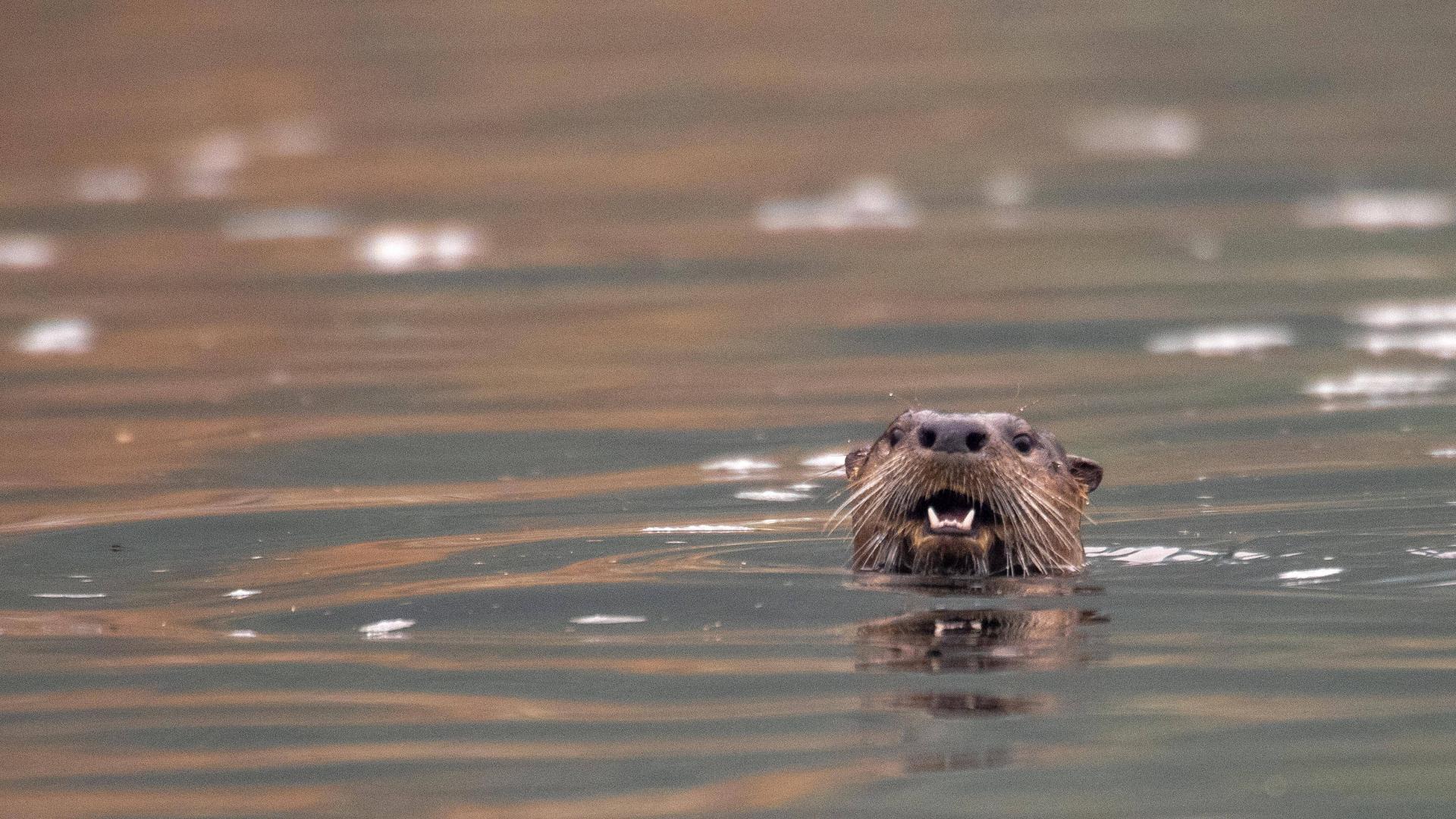 Otter ist Tier des Jahres