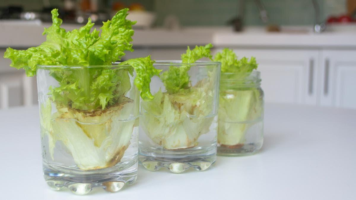 Aus alt mach neu: Steckt der Salatstumpf in Wasser