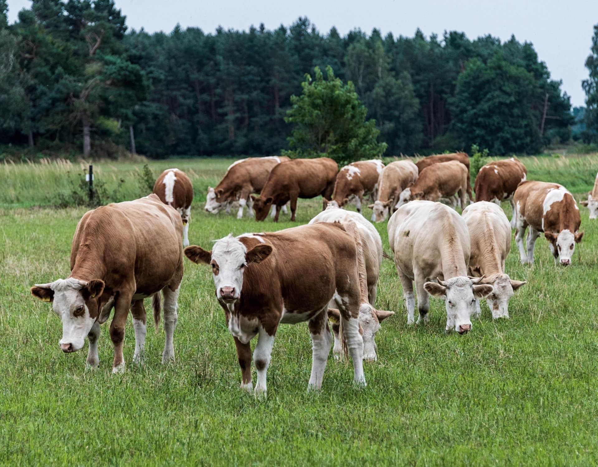 kühe weide grasen