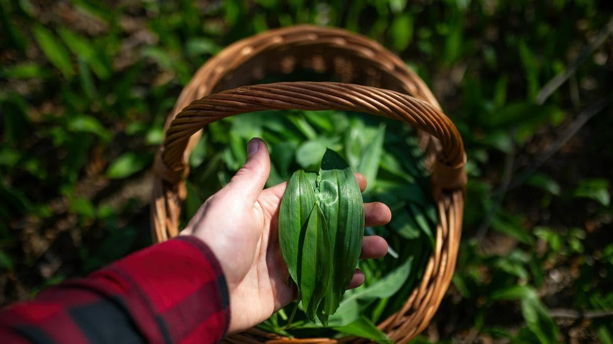 Vorsicht beim Bärlauch sammeln: Die grünen Blätter sind leicht zu verwechseln.. © WildMedia/Shutterstock