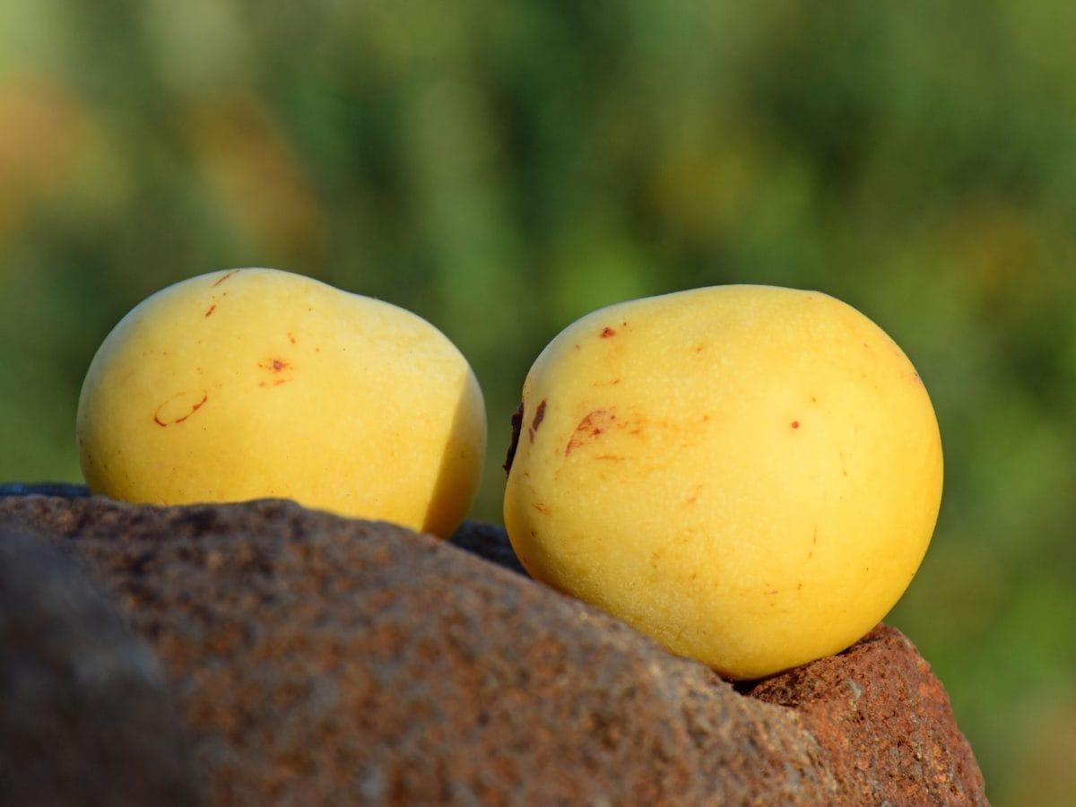 Marulaöl Marula-Früchte