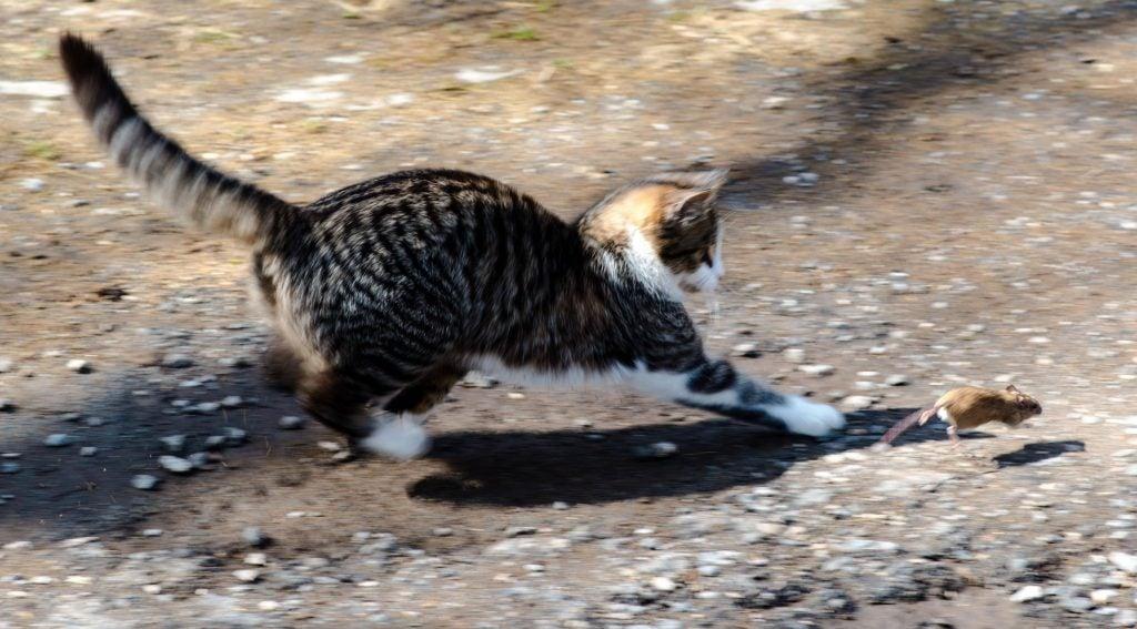 Katze gegen Ratten