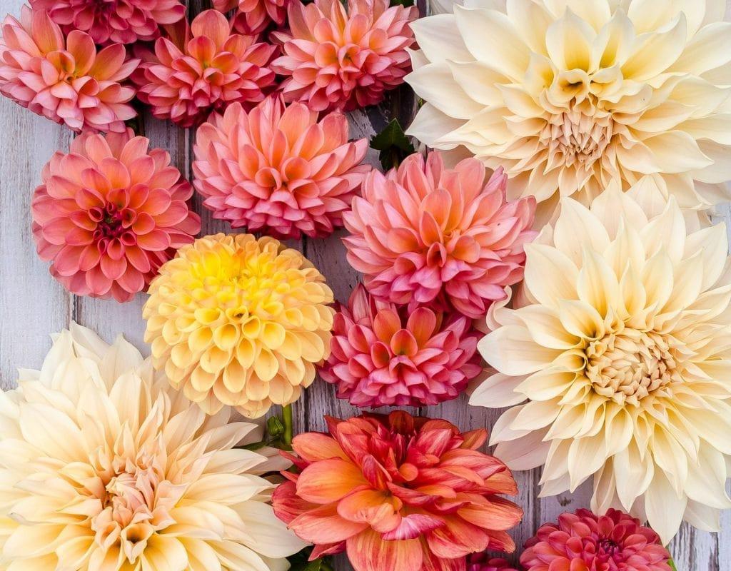 Dahlie Sternzeichen Blume