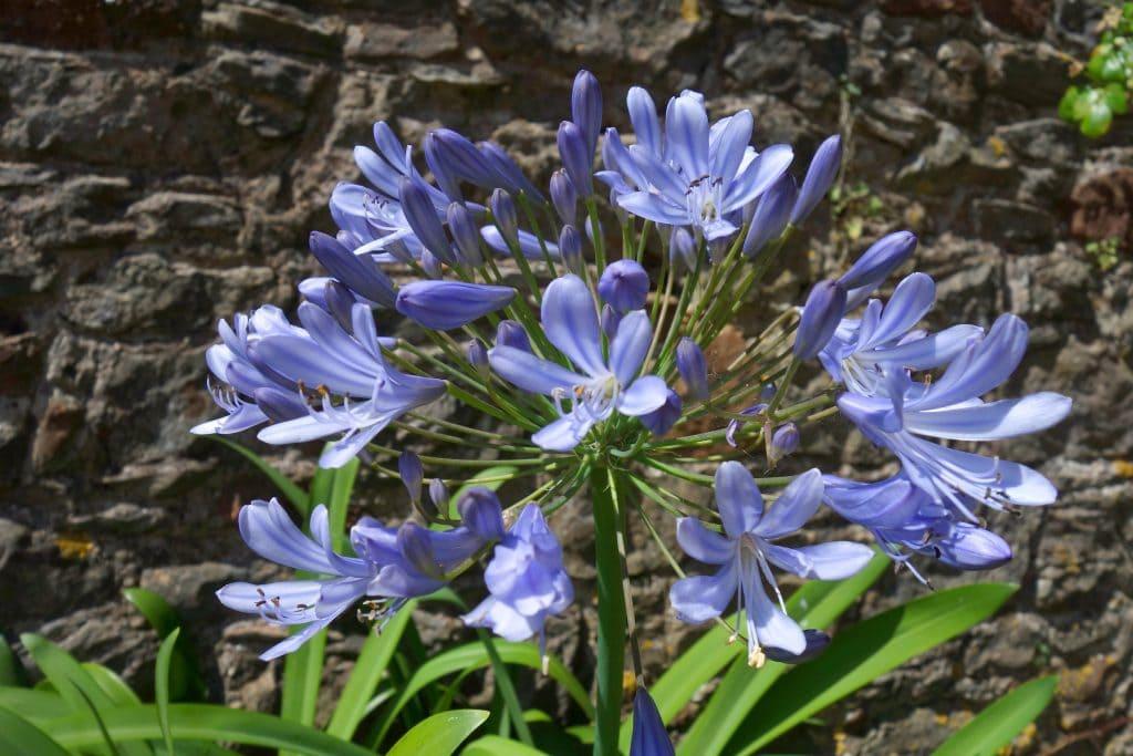 Schmucklilie Sternzeichen Blumen