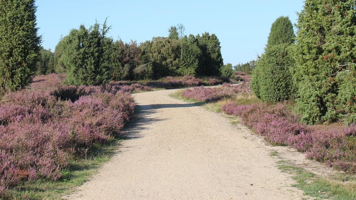 Von August bis September erstrahlt die Lüneburger Heide in einem satten Lila.. © Sandra Lorenzen-Mueller/Shutterstock.com